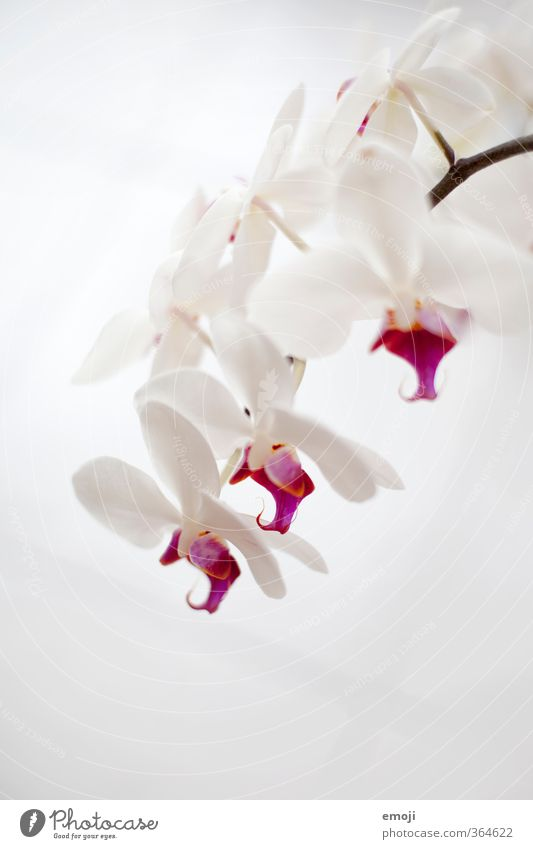 18oo Environment Nature Plant Flower Orchid Blossom Pot plant Exotic Natural Pink White Colour photo Subdued colour Interior shot Close-up Detail