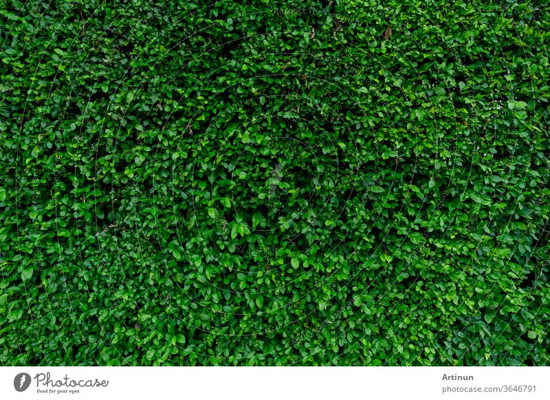 Small green leaves texture background. Evergreen hedge plants. Eco wall. Organic natural background. Clean environment. Ornamental plant in the garden. Many leaves reduce dust in air. Tropical garden.