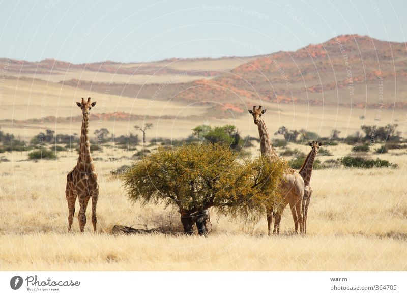 giraffe family Nature Landscape Cloudless sky Horizon Beautiful weather Tree Grass Bushes Namib desert Animal Giraffe 3 Animal family Yellow Colour photo