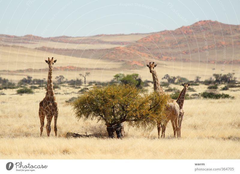 Nature Tree Landscape Animal Yellow Grass Horizon Bushes Beautiful weather Cloudless sky Giraffe Animal family Namib desert