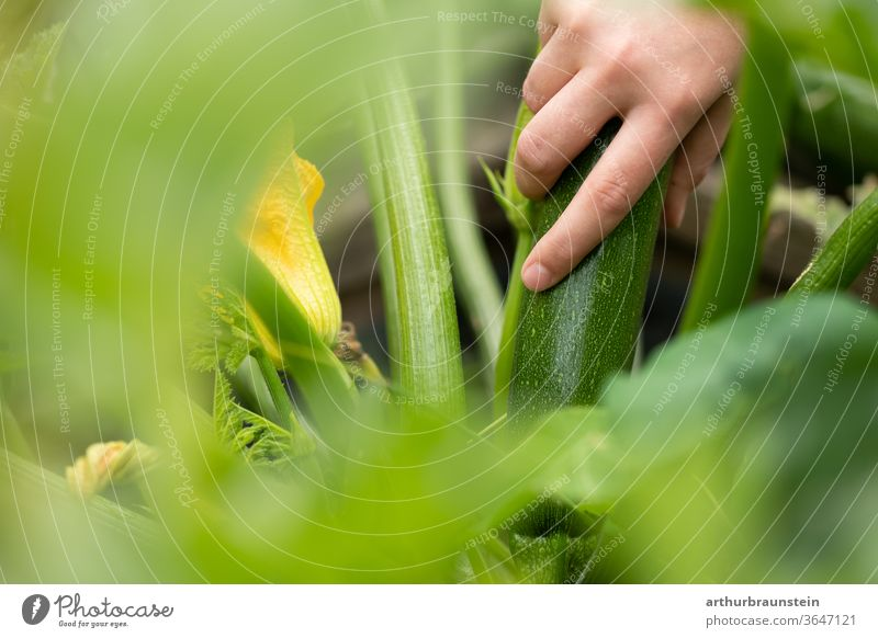 Young woman harvesting fresh courgettes from the garden Vegetable Food Zucchini Courgette plant Zucchini blossom Nutrition reap Harvest Eating Nature Garden