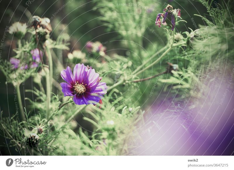 Cosmic glow Environment Nature Landscape Plant Summer bleed bushes flowers Beautiful weather Blossom leave Cosmos Garden Meadow Growth Illuminate Blossoming
