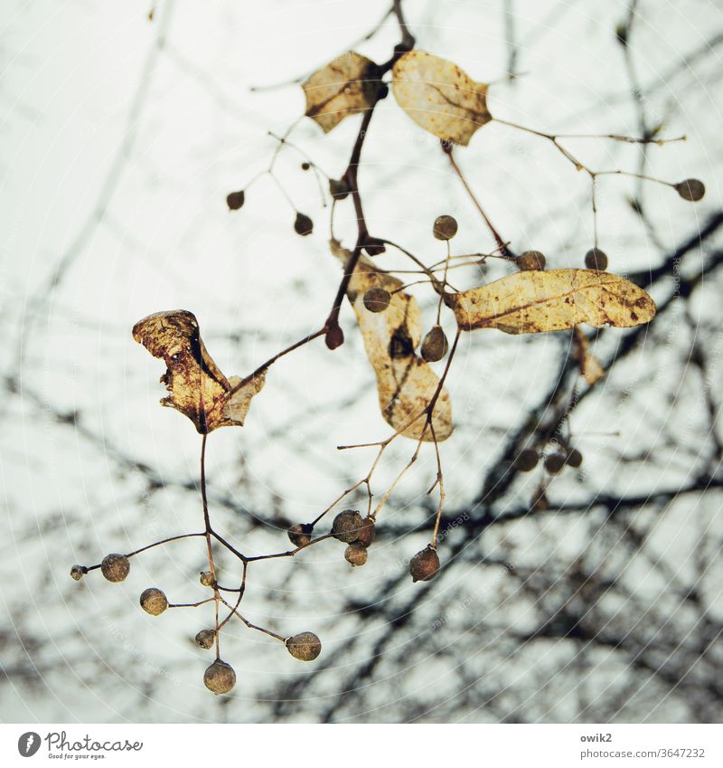 Final stage Autumn tree twigs Sky Old Exterior shot Deserted Twigs and branches Sparse natural Sámen Seed capsule Colour photo Nature Day flaked Environment