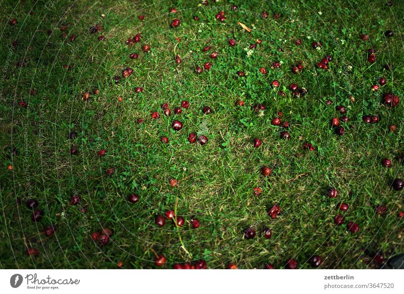 Cherries in the grass under the cherry tree Relaxation Harvest holidays Garden Grass cherries allotment Garden allotments Deserted Nature Plant Lawn