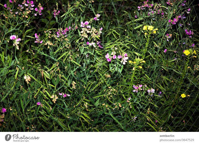 Vetches and mullein Verbascum bombyciferum Verbascum nigrum sweet pea Evening lightning bolt flash flowers blossom bleed Relaxation holidays Garden allotment