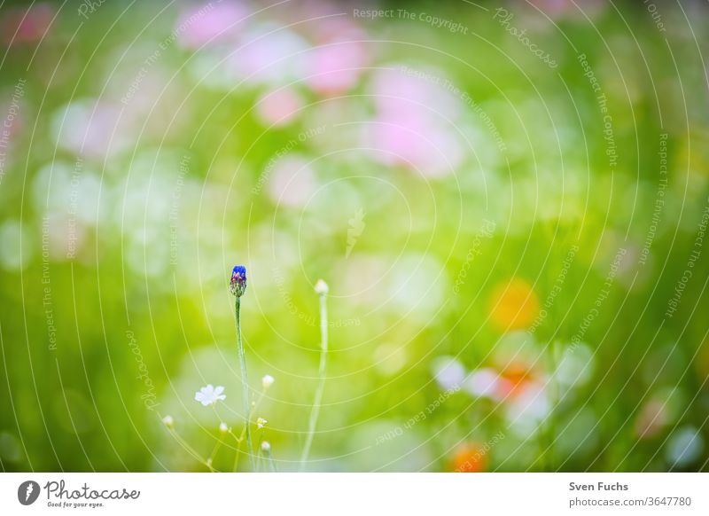 On a colourful spring meadow stands a single cornflower, which is about to blossom Cornflower colored Idyll Nature bokeh Blur depth of field Summer flowers