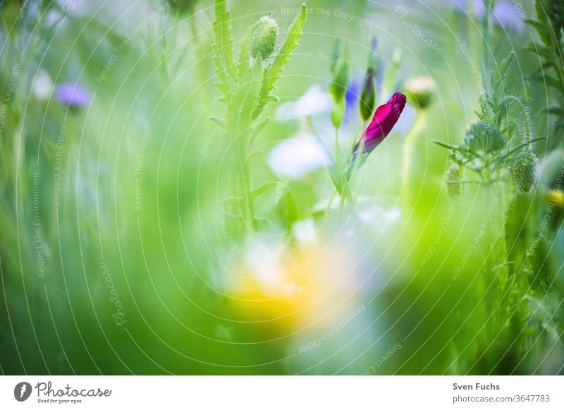 A red wildflower that is just before blossoming spring meadow wild flower Red Idyll Nature bokeh Blur depth of field Summer flowers Plant green Garden Grass