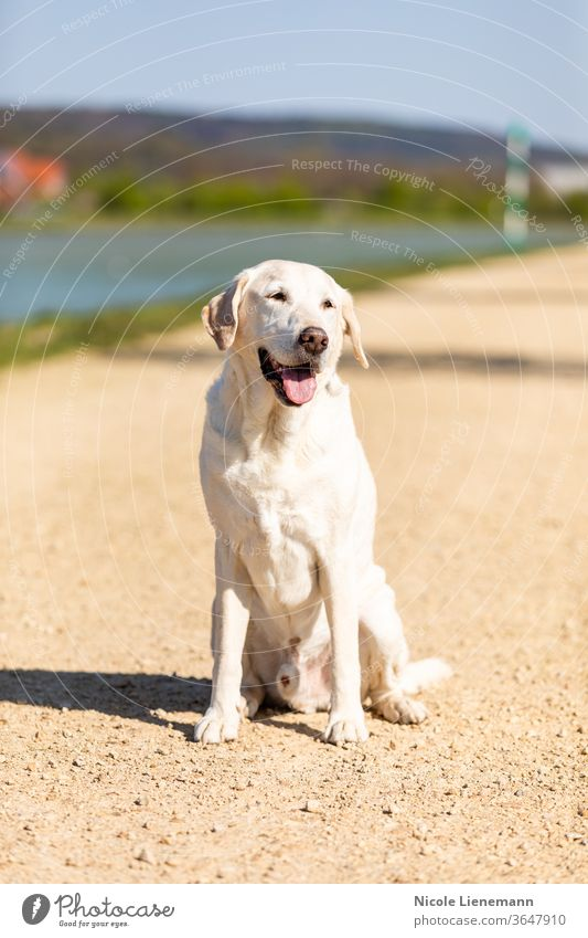 labrador is sitting on a path dog outdoors nature sun sunshine walk canal water brown white