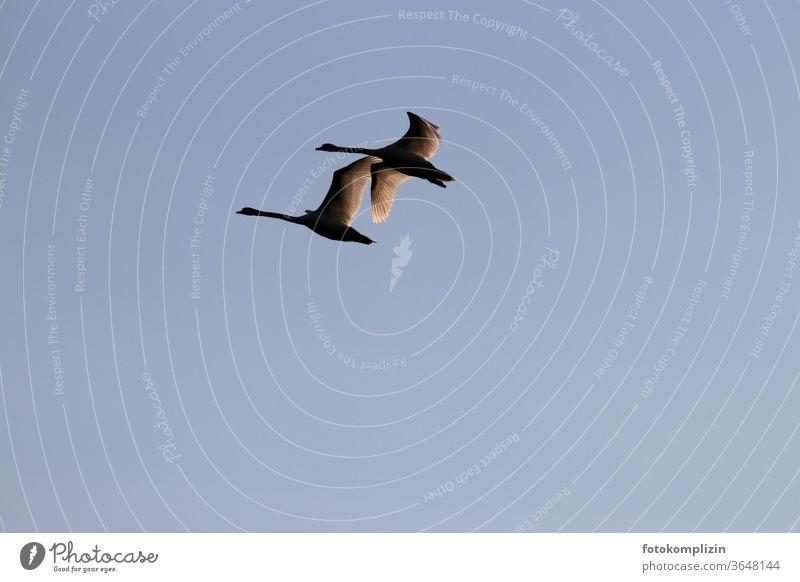 two adjacent swans Swan flight Grand piano birds Elegant Flying Floating return flight Esthetic in the sky Sky Silhouette Feather Longing wistfully Freedom