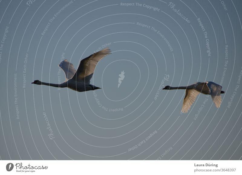 Two swans fly by Swan flight Flying birds Nature Animal Grand piano Exterior shot Sky Wilderness Flight of the birds animal world Wild bird Span plumage