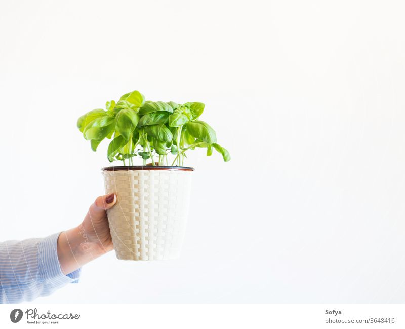 Pot with home grown basil woman gardening concept green pot plant herb holding hand hobby aromatic background food person girl summer nature leaf spring