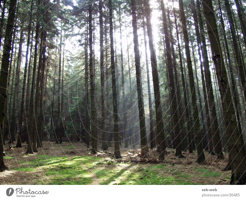 sunbeam Forest Tree Light Fog Sunlight Shadow Beam of light sunstrahels