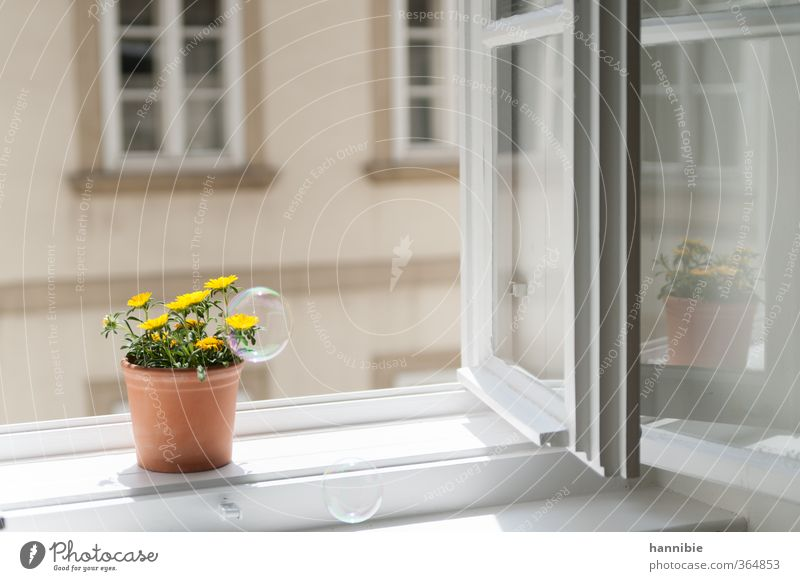 at the window to the courtyard Plant Flower Window Friendliness Natural Yellow White Nature Window board Pot plant Flowerpot Soap bubble Reflection Colour photo