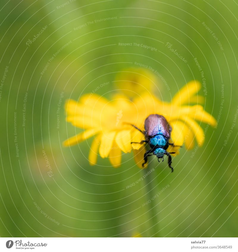 On the Abyss Nature Beetle flowers Dyer's camomile Summer bleed Shallow depth of field Yellow Plant Insect shaggy corn beetle Crawl Garden Animal 1
