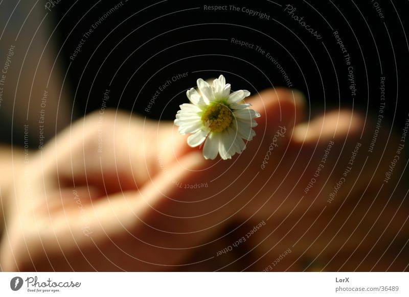 Woman Man Hand Sun Summer Flower Life Blossom Daisy Marriage proposal