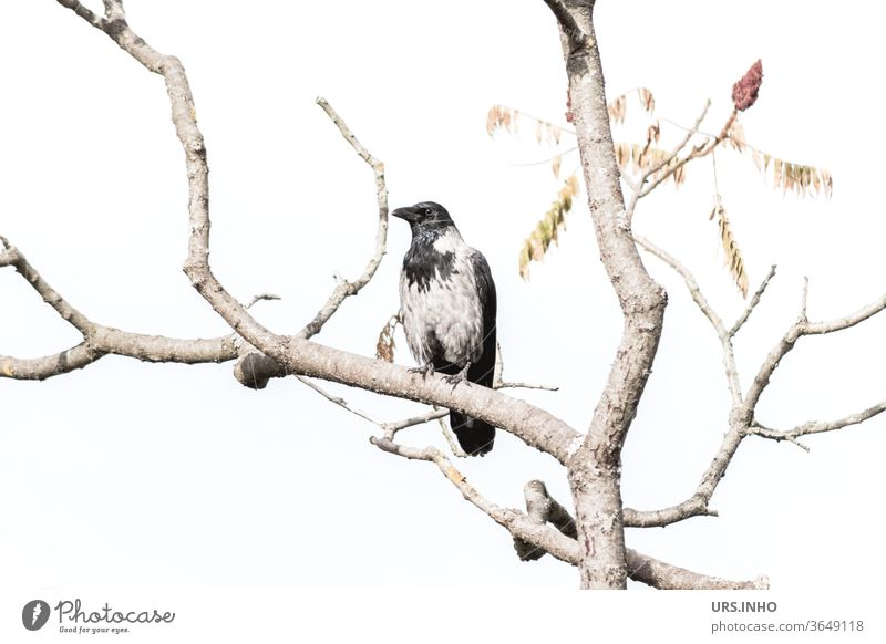 a hooded crow sits between the branches of a bare tree Crow Raven birds Hooded Crow Branch Bleak Bright Adaptable Carrion crow Black Gray Animal Twig