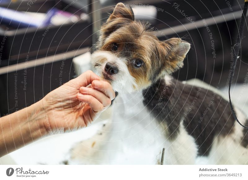Cute dog after haircut in salon yorkshire terrier grooming groomer master cute adorable domestic pet professional animal care canine style table sit treat