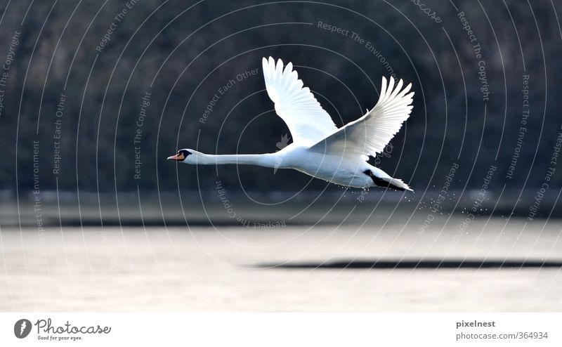 Nature Beautiful Water White Animal Winter Black Movement Freedom Lake Bird Flying Wild animal Elegant Esthetic