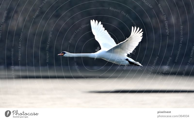 Swan in flight Nature Winter Lakeside Animal Wild animal Bird 1 Flying Esthetic Free Beautiful Pride Movement Freedom Mute swan Airplane takeoff Wing Floating