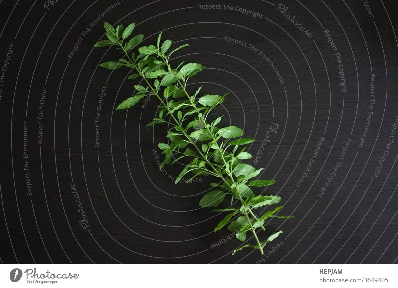 Holy basil on black background. aromatic blossom cook cooking cuisine culinary flavor flora flower food fresh freshness green group healthy herb herbal holy hot