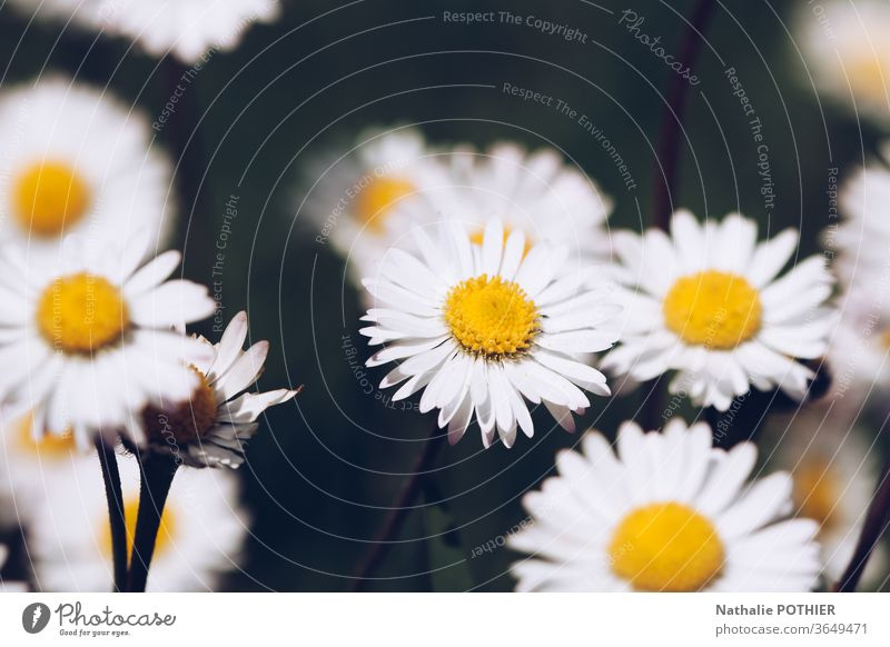Daisies in the meadows daisies Meadow country Yellow White flowers Flower Nature Summer Plant green Garden Blossoming Spring Flower meadow Grass Exterior shot