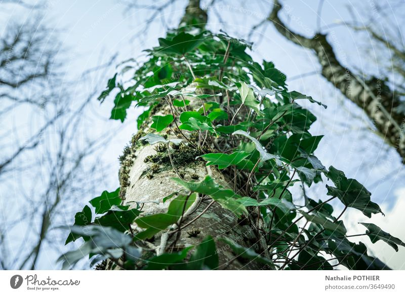 Ivy-covered tree trunk seen from below ivy sky Tree Plant Nature Colour photo Exterior shot Green Leaf Environment Forest leaves Wild plant Foliage plant