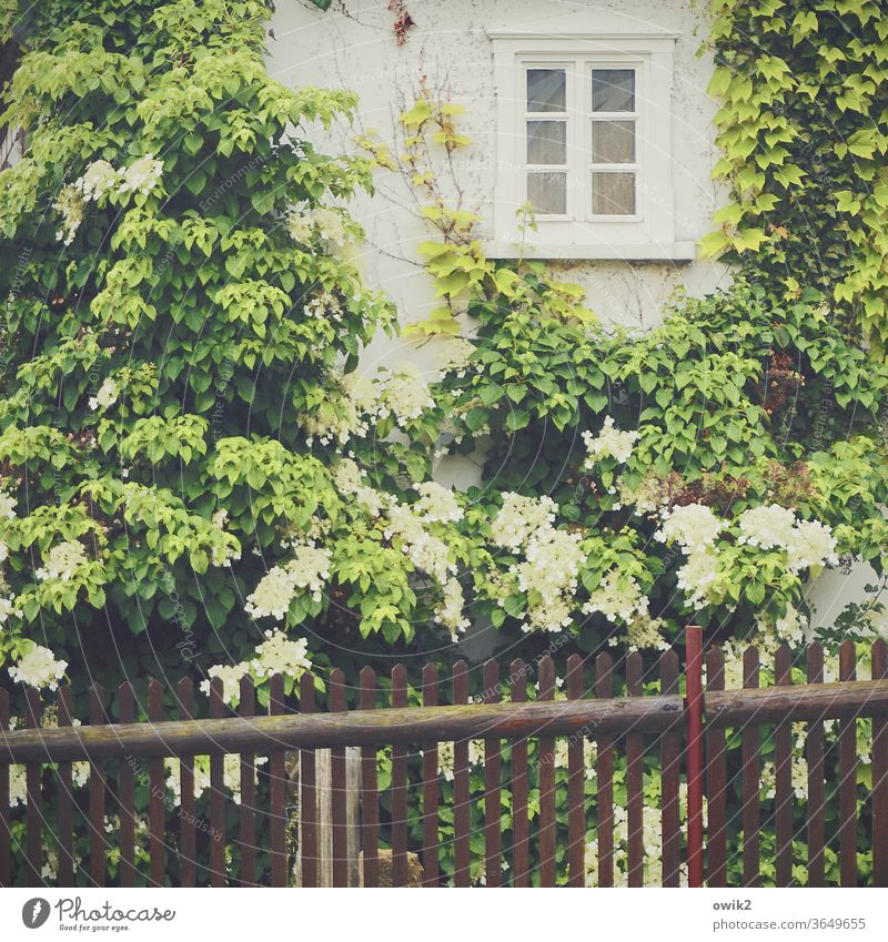 Over fence House (Residential Structure) Facade Window Plant Fence Blossoming bleed leaves Hydrangea blossom spring rural Idyll Colour photo flowers Garden