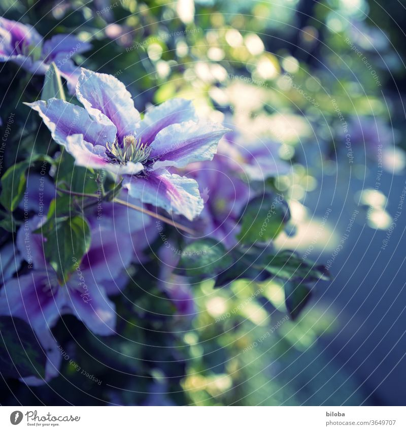 Clematis in the evening light creeper bleed White purple Back-light Evening