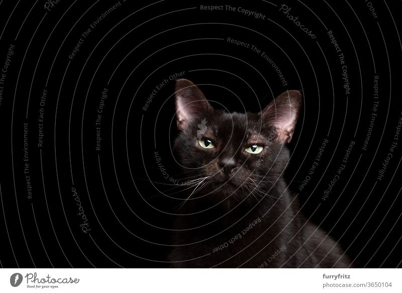 black cat on black background portrait Cat pets mixed breed cat shorthaired cat One animal Black cat Studio shot Copy Space cut Isolated look into the camera
