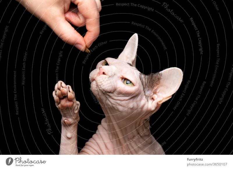 Animal owner feeding Sphynx cat Cat pets purebred cat hairless cat Naked Wrinkled Bleak One animal black background Studio shot Copy Space cut Isolated Paw