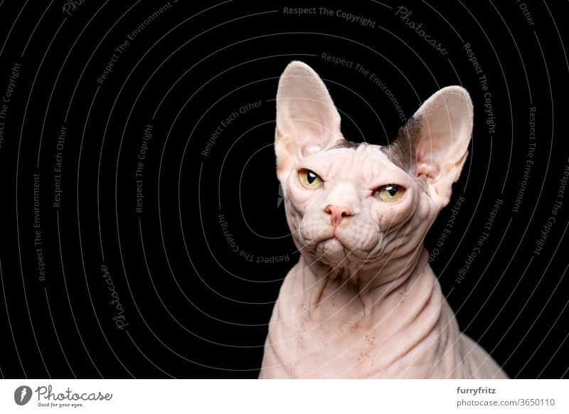 Sphynx cat in front of black background Cat pets purebred cat hairless cat Naked Wrinkled Bleak One animal Studio shot Copy Space cut Isolated Looking indoors