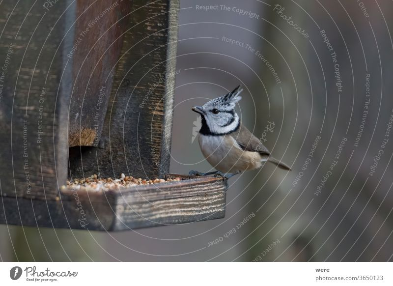 Crested tit in the woods at the birdfeeder Lophophanes cristatus Stand bird Wood animal annual bird bird feeding branch comb copy space feathers fly food forest