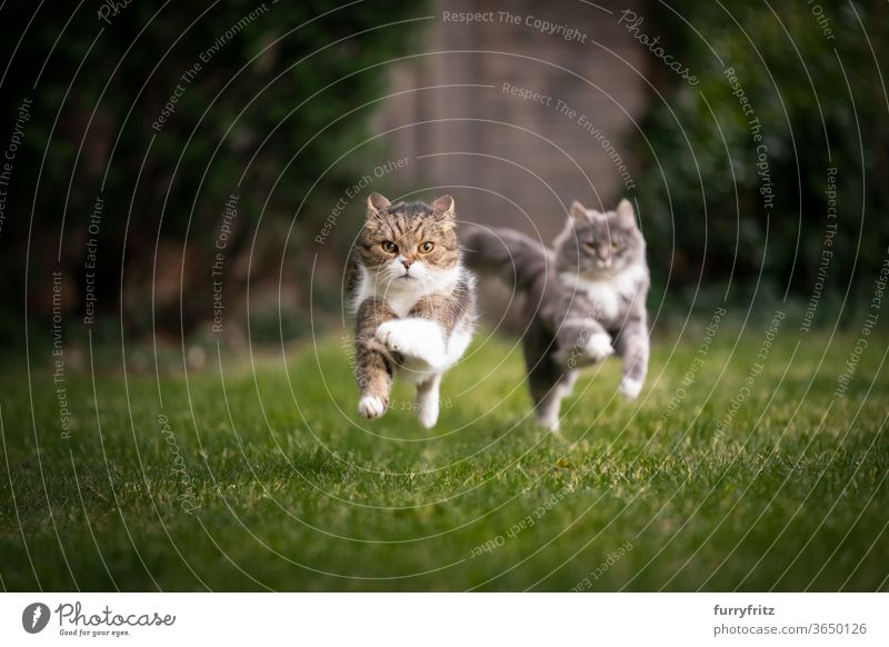 two cats running through the garden Cat pets purebred cat maine coon cat British shorthair cat Two animals blue blotched tabby White Running Playing Playful