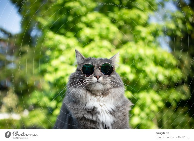 cool cat with sunglasses Cat pets purebred cat maine coon cat One animal blue blotched White Nature Front or backyard Garden green plants portrait Funny wearing