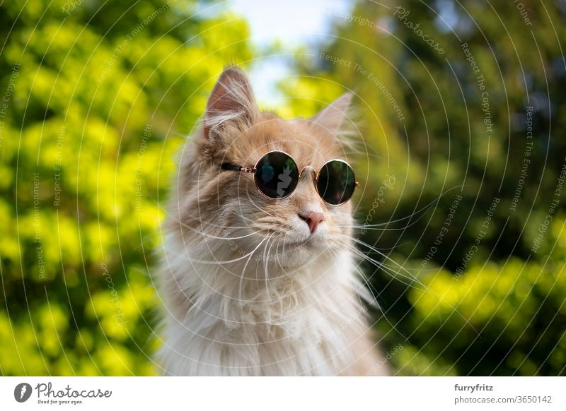cool maine coon cat with sunglasses Cat pets purebred cat One animal cream Beige White Nature Front or backyard Garden green plants portrait Funny wearing Cool