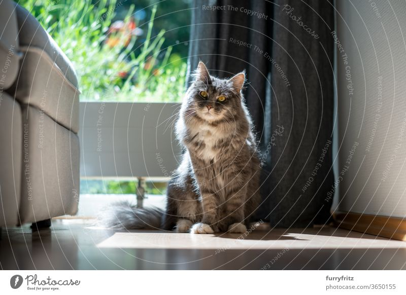 Cat sitting by the window in the sunlight pets purebred cat maine coon cat One animal blue blotched Sit look into the camera Sunlight indoors House Interior