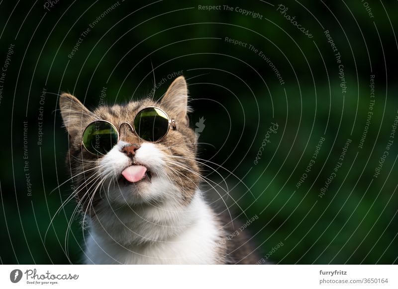 cheeky cat with sunglasses sticks out his tongue Cat pets purebred cat British shorthair cat One animal tabby White green Outdoors Umbrellas wearing Cool