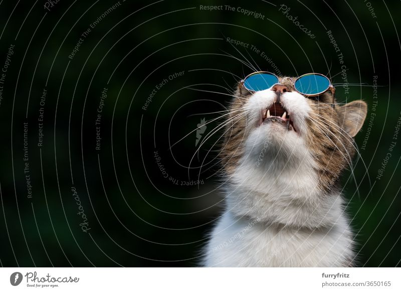 cat wearing sunglasses looking up in the sky pets purebred cat british shorthair cat one animal tabby white green outdoors shades cool funny open mouth surprise
