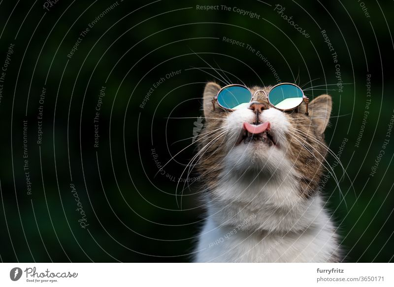 Cat with sunglasses, looking at the sky pets purebred cat British shorthair cat One animal tabby White green Outdoors Umbrellas wearing Cool Sunglasses Funny