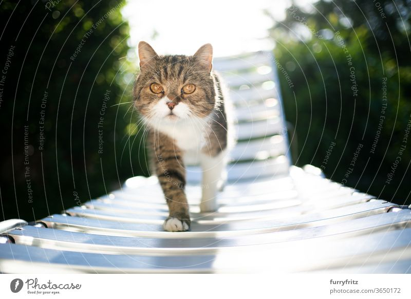 Cat walking in the sunlight on a sun lounger pets purebred cat British shorthair cat One animal tabby White sunny Sunlight Summer green Outdoors Garden chair