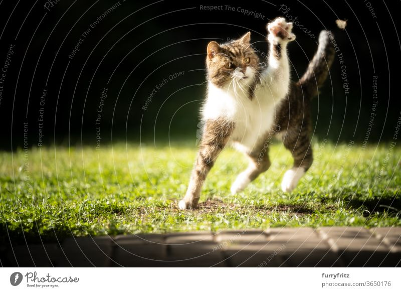 Cats chasing an insect in the sunlight pets purebred cat British shorthair cat One animal tabby White sunny Sunlight Summer Playing Hunting Moth green Outdoors