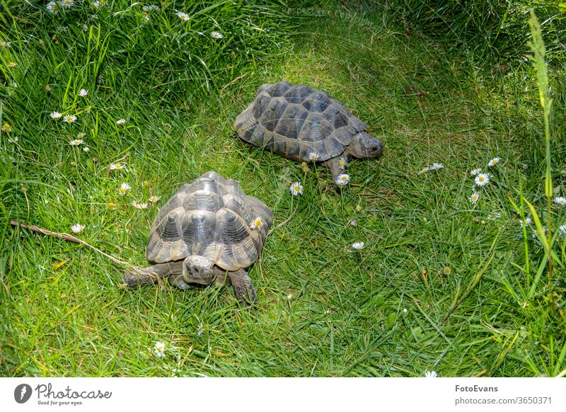 Two turtles run on  green meadow grass living being portrait flowers daisies slowly day brown species animal land turtle two exotic nature outside pet pair