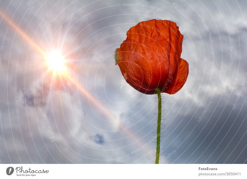 Single red poppy flower with  sky  and   sun Summer Flower Spring Nature Postcard Corn poppy Sunbeams Blossom Plant Day Meadow one Background Papaver rhoeas