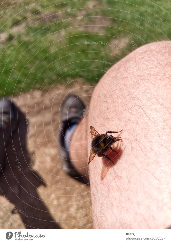 Insect on hairy knee. To sting or not to sting, that is the question here. leg Knee Skin Hover fly Animal Grand piano Colour photo Summer