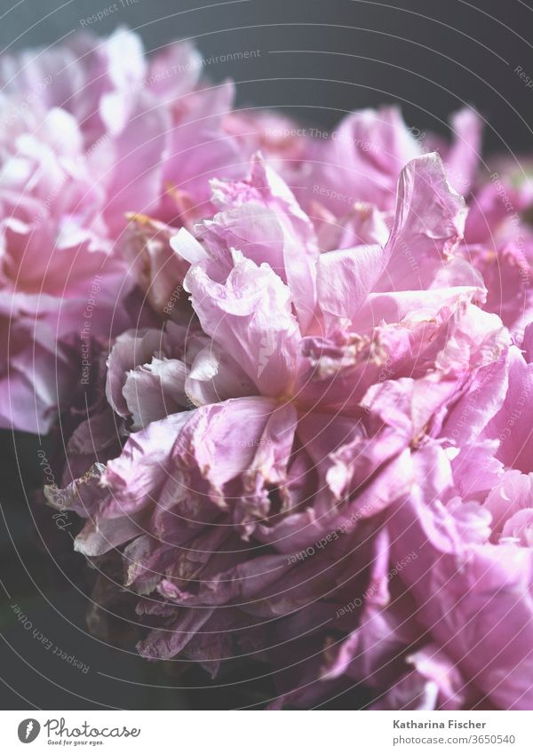 Petals of a peony Peony flowers bleed Pink Plant Colour photo Nature spring already Close-up Summer Fresh natural Blossom leave Blossoming Bud