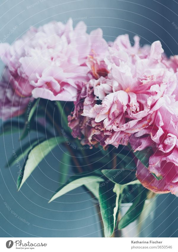 rosy peonies fade Peonies Pink flowers bleed Close-up Nature Colour photo Detail Summer spring Blossoming Fragrance Blossom leave Day already Interior shot