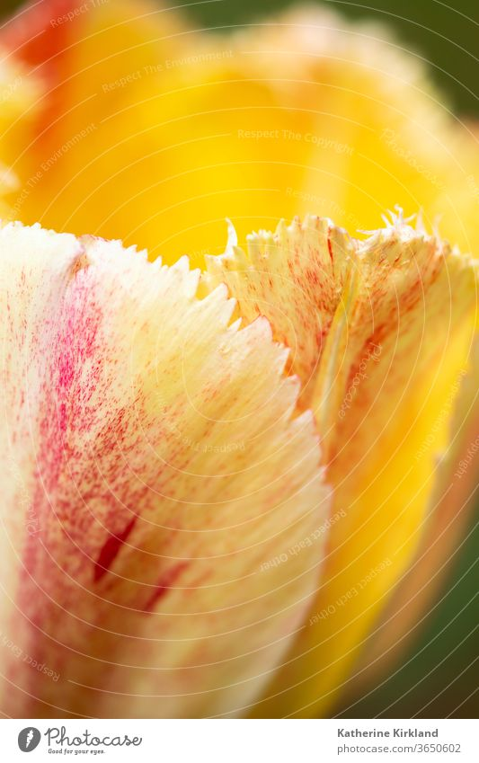 Peach Tulip Petal Flower Nature tulip tulipa yellow orange closeup macro springtime Seasonal Garden Gardening copy space vertical Natural Floral Plant Grow