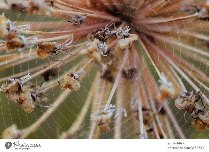 Ornamental garlic blossom withered, close-up ornamental garlic bleed Plant Garden Faded Dry Transience Nature Summer