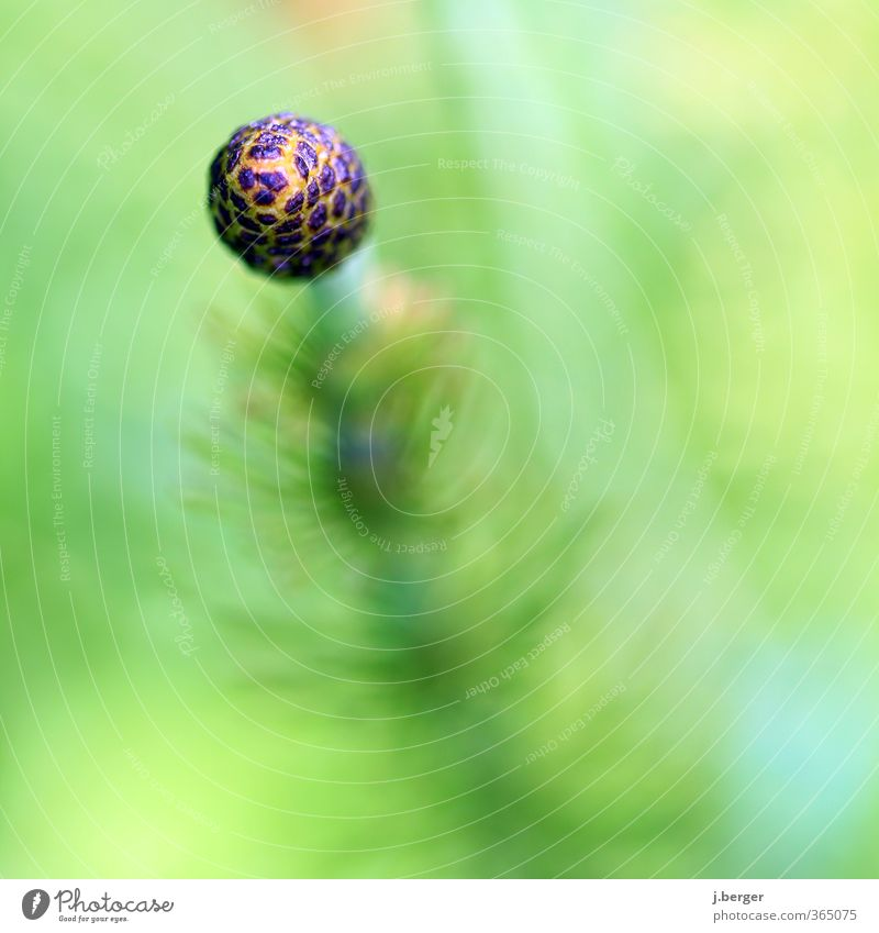 Spherical Nature Plant Summer Blossom Wild plant Growth Esthetic Exceptional Green Sphere Botany Blur Horsetail equisetum Colour photo Subdued colour