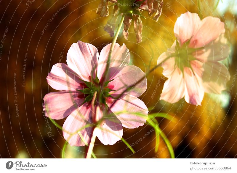 pink Cosmea flowers in the golden autumn light bleed late summer Blossoming Love of nature Blossom leave Garden plants Indian Summer Blur Shallow depth of field